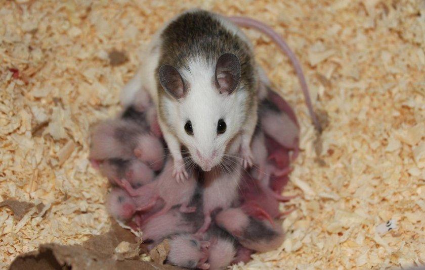 Крыса с детёнышами