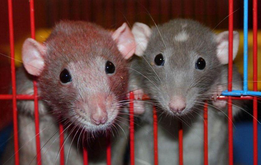 Крысиная пара