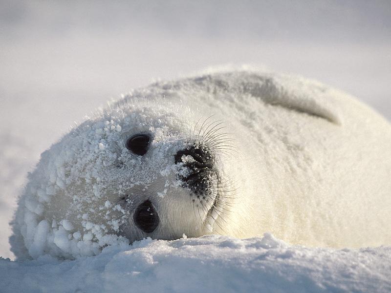 гренландский тюлень детеныш (белек) в снегу фото