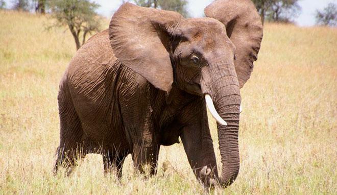 Сколько живёт слон — длительность жизни этого исполина