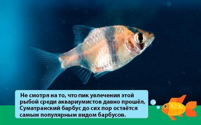 Aquarium Fish Barbus Tetrazona
