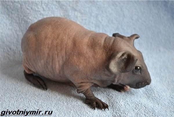 Свинка-скинни-Описание-особенности-виды-и-уход-за-свинкой-скинни-2
