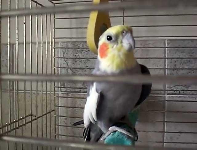 Во время линьки на дне клетки много перьев