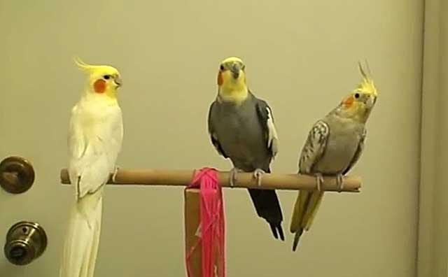 При смене оперения птицам нужно усиленное питание