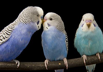 Как научить разговаривать волнистых попугайчиков
