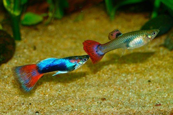 самка и самец гуппи